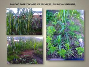 premiers legumes