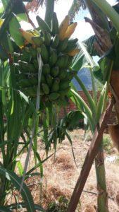 recolte de bananes